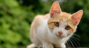 Le chat : l'animal de compagnie numéro 1 dans les familles