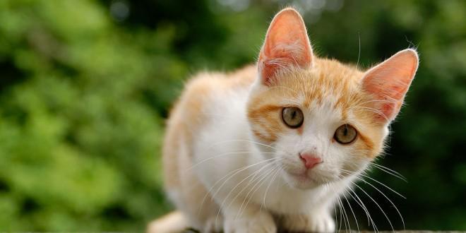 Animaux de compagnie : Un chat augmente le sens de la responsabilité
